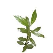 NEW DIRECTIONS AUSTRALIA玉桂子多香果精油